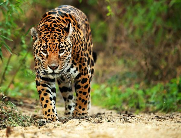 jaguarshutterstock 91084463
