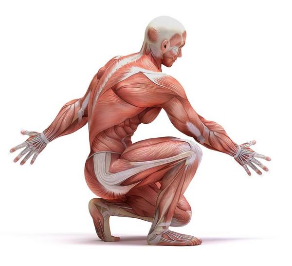 Muskler - undervisningsmateriale til biologi