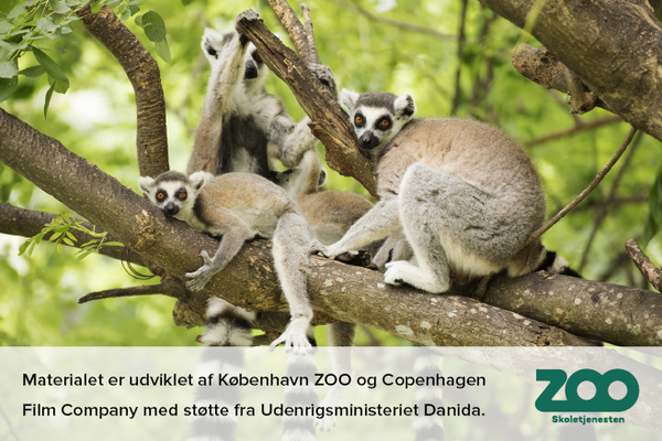 Lemur Regnskoven ZOO 01