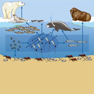 Fødenet i Det Arktiske Hav