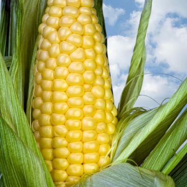 Genmodificerede afgrøder i et forandret klima