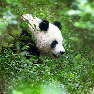 Den store panda