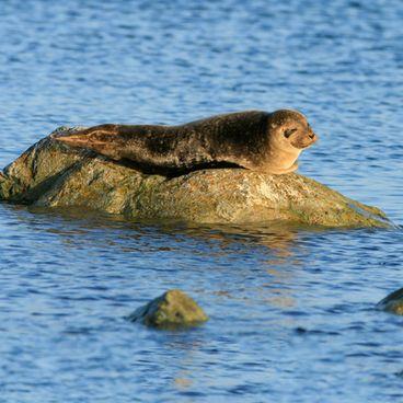 Sælen – et af Danmarks store rovdyr