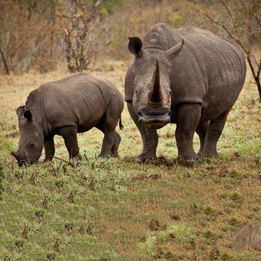 Næsehorn, tigre og overtro