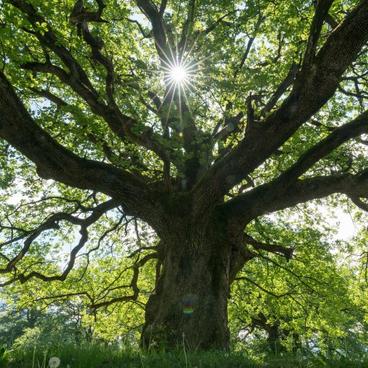 Træarters tilpasning og indbyrdes konkurrence